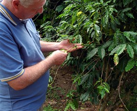 Wombah Coffee Plantation - Accommodation Melbourne