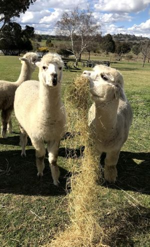 Clearview Alpacas - Accommodation Melbourne