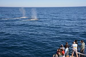 Blue Whale Perth Canyon Expedition - Accommodation Melbourne