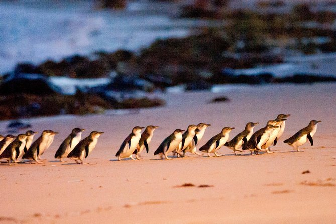 Phillip Island Penguin Parade Entry and Express Shuttle from Melbourne - Accommodation Melbourne