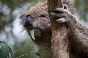 Phillip Island Koala Conservation Centre Entry ticket - Accommodation Melbourne