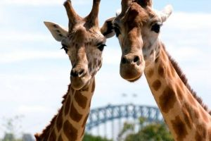 Sydney Harbour Ferry with Taronga Zoo Entry Ticket - Accommodation Melbourne