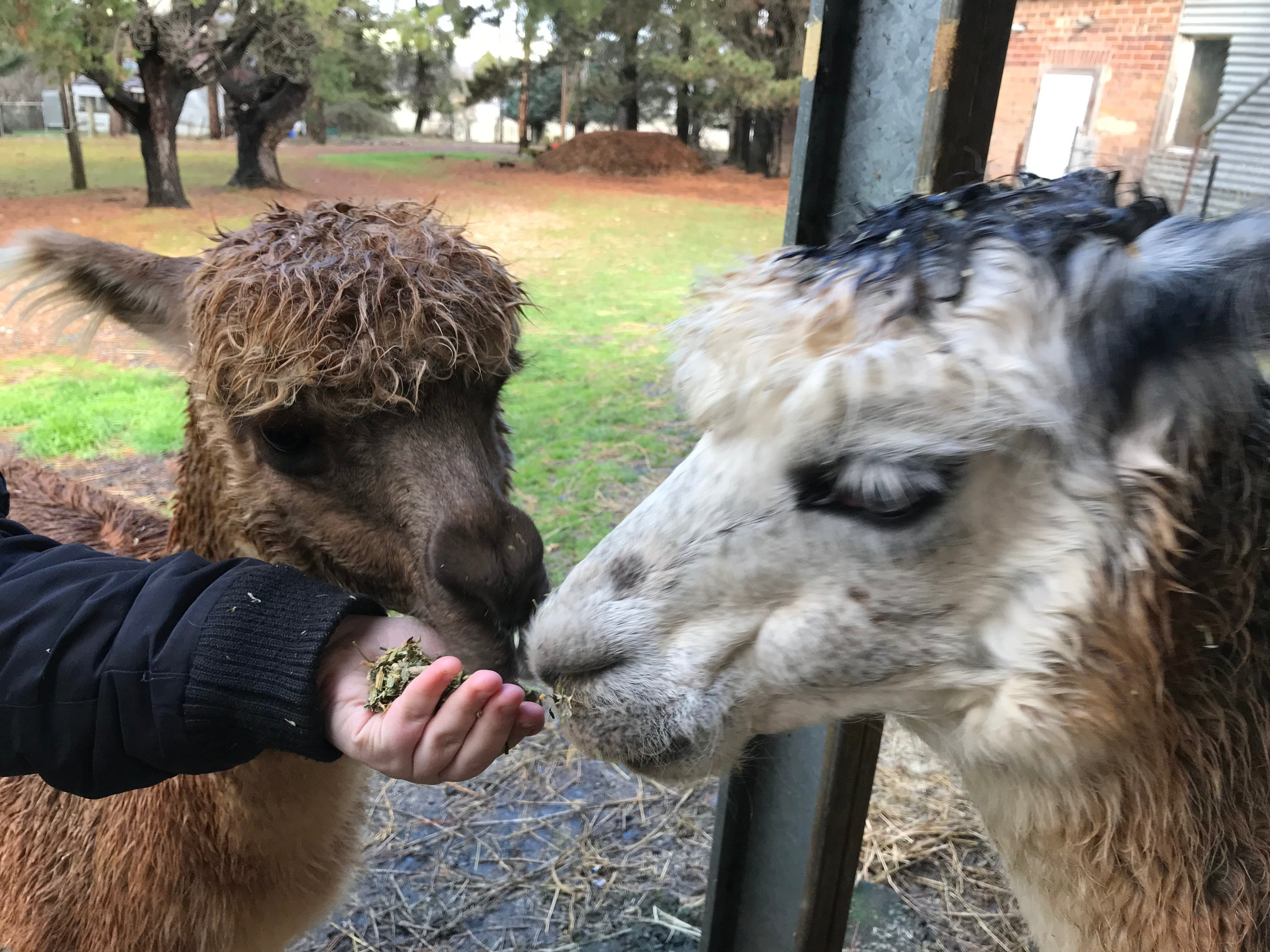 Alpaca Farm Experience at Crookwell - Accommodation Melbourne